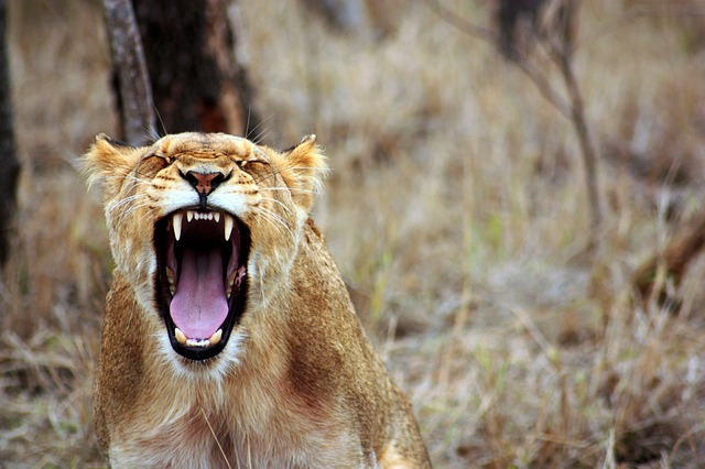 lion mouth open